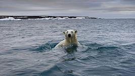Lední medvědi mají stále složitější život.