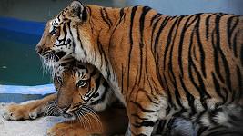 Tygři William a Kate v celé své kráse.