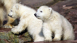 Dvojčata ledních medvědů Gregor a Aleut.