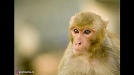 Makak byl na útěku ze zoologické zahrady dlouhé dva měsíce. Ilustrační foto