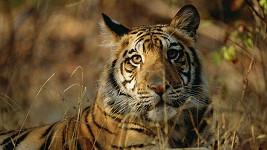 Tygrům v londýnské zoo se dostalo nové pochoutky. Ilustrační foto