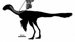 Údajně nejmenší dinosaurus světa Ashdown Maniraptoran.