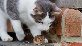 Kočka s myší. Kdo je komu nebezpečnější?