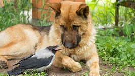 Pes a vrána? To nejde dohromady! (ilustrační foto)