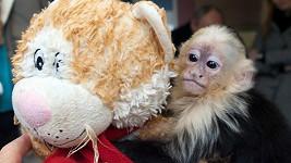 Opičátko Mally bez své plyšové hračky odmítalo jíst.