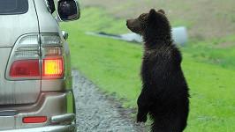 Plaché medvídě čeká, jestli mu řidič dá něco k jídlu.