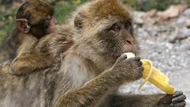 Opice touží po banánu. (ilustrační foto)
