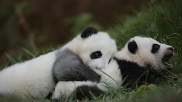 Panda je opravdu krásné zvíře.