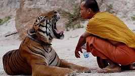 Tygr potřebuje osvěžit.