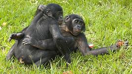 Šimpanzům bonobo hrozí vyhynutí.