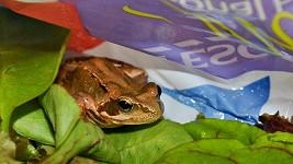 Žába ukrytá v salátu.