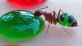 Mravenec nasávající barevnou pochutinu.