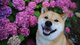 Usměvavý psík Maru z Japonska