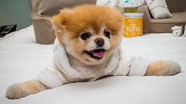 Sezmante se s Boo, údajně nejroztomilejším psíkem na světě.