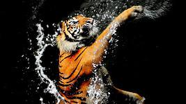 Vodní hrátky s tygrem.