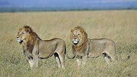 I lev může mít špatný den. (ilustrační foto)