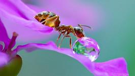 I mravenci mají žízeň.