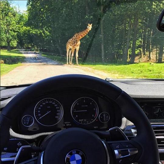 Přes cestu prošla žirafa.