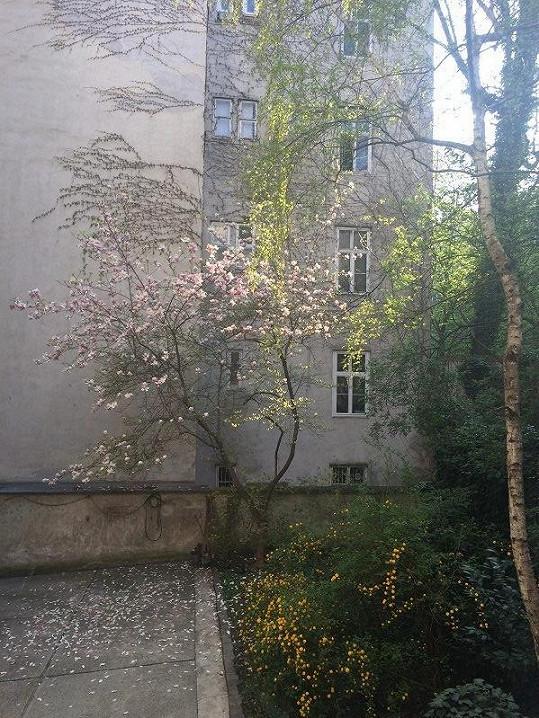 Výhled z okna do dvora zpestřuje kvetoucí magnólie.