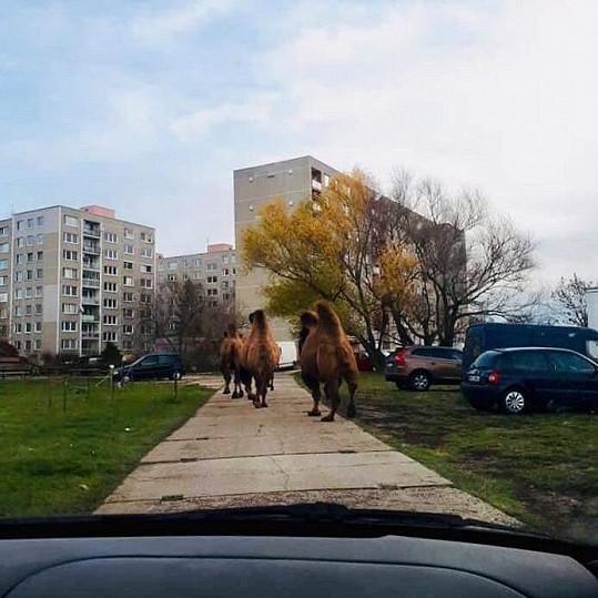 Všude vidí velbloudy.