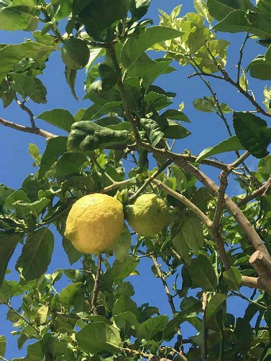 Pod těmihle citróny Ilona s oblibou lelkovala