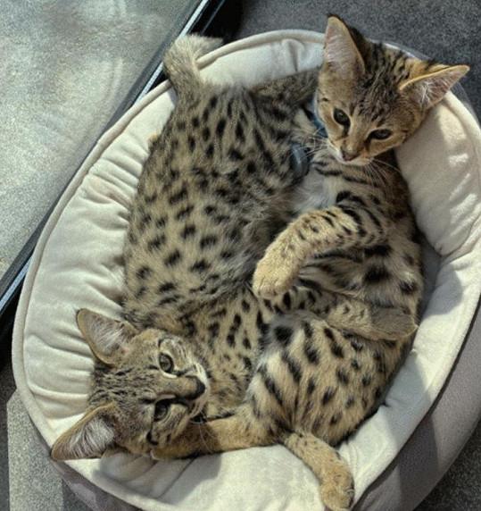 Bieberovi jsou majiteli dvou savanových koček Sushiho a Tuny.