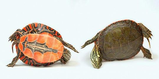 """Dvě """"tváře"""" želvy."""