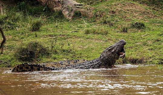 Obrovští krokodýli se nebojí napadnout a spořádat ani velké druhy skotu či člověka.