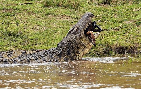 Souboj krokodýl vs. antilopa má jasného vítěze.