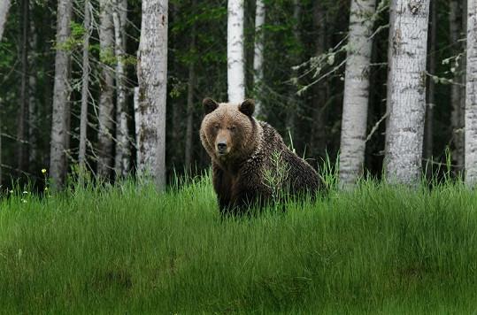 U silnice mají medvědi lepší obživu než v lese.