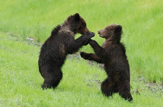 řidičům medvíďata někdy za odměnu ukáží takovéto kousky.