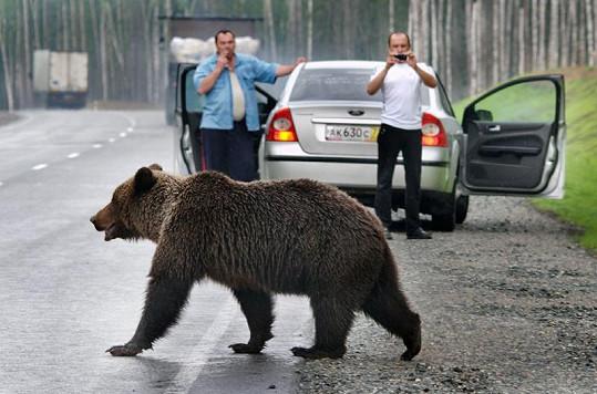 Medvědi se klidně procházejí po silnici.