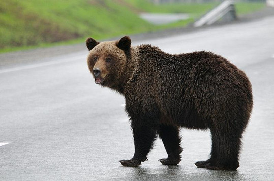 Medvědi se lidí už nebojí.