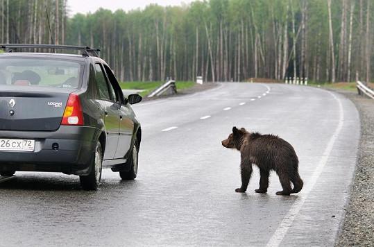 Medvídě si jde k autu pro něco dobrého.