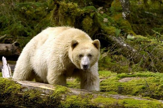 Medvěd-duch