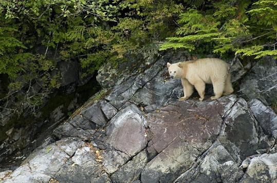 Vzácný bílý medvěd v kanadské přírodě.