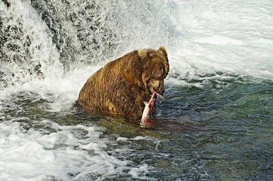 Téměř pětisetkilový medvěd si pochutnává na svém úlovku.