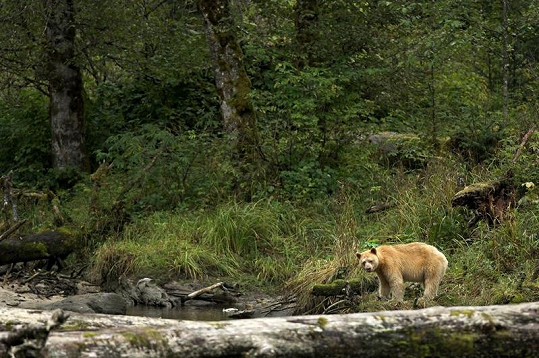 Bílý medvěd kermodský.