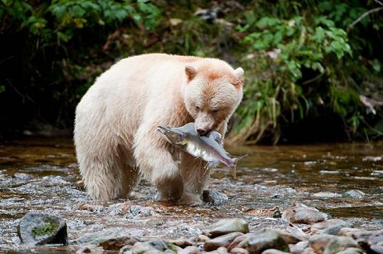 Medvědí duch při lovu.