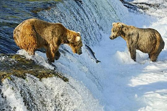 Tento losos hladovým huňáčům zřejmě neuplave.