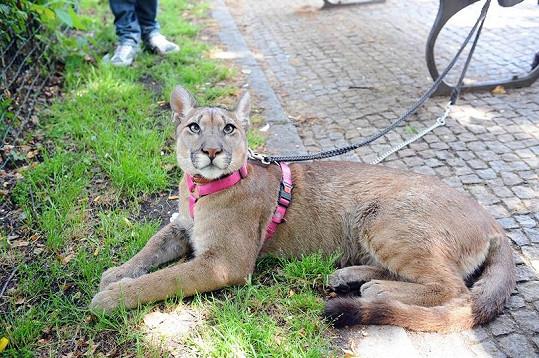 Puma může být domácí mazlíček.