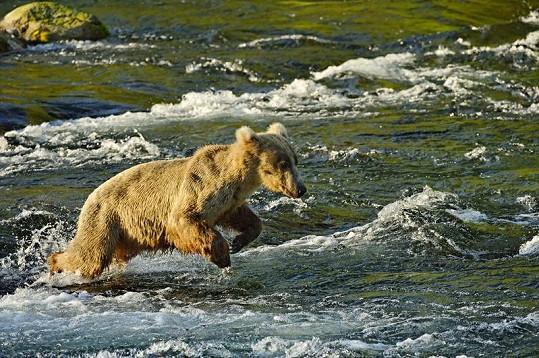Mrštný skok nezkušeného medvíděte skončil nezdarem.