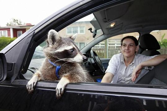 Mýval má své místo i v autě.