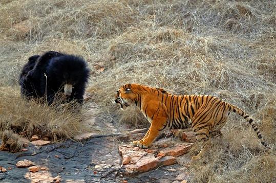Tygr doráží na medvědí rodinku.