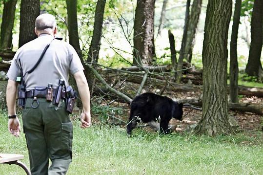 Medvěda zahnal až strážce parku.