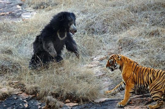 Překvapený tygr si útok raději rozmyslel.