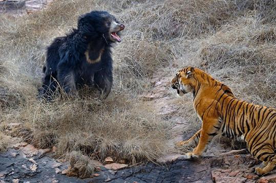 Medvědice brání svá mláďata.