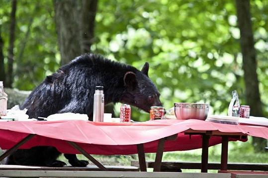 Medvěd svi vyrazil na piknik.