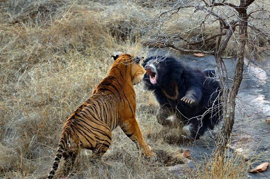 Rozzuřená medvědice se za medvíďata prala jako lvice.