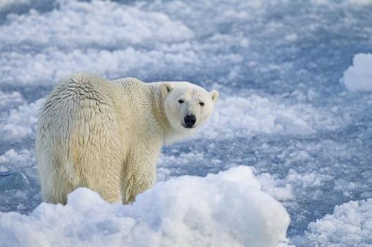 Lední medvěd na souostroví Novaja Zemlja.